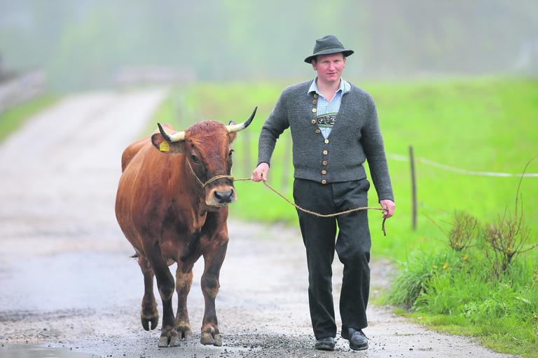 Tierisches Oberland | Werdenfelser Rind