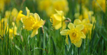 Gestärkt in den Frühling | Narzissen