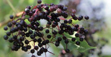 Gut geschützt in den Herbst | Schwarzer Holunder