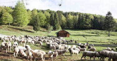 Kulturgut auf vier Hufen | Werdenfelser Bergschafe